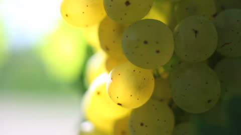hd white wine grapes macro (loopable) - frische stock videos & royalty-free footage