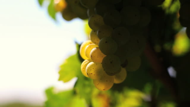 hd white wine grapes (loopable) - frische stock videos & royalty-free footage