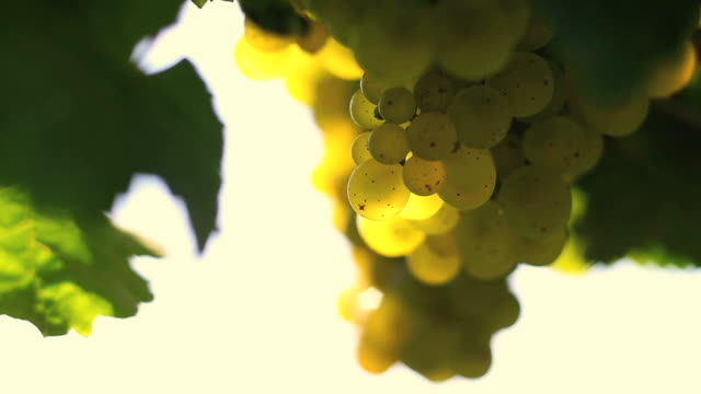HD White Wine Grapes (Loopable)
