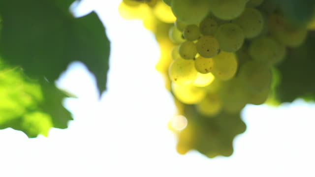 hd white wine grapes - frische stock videos & royalty-free footage
