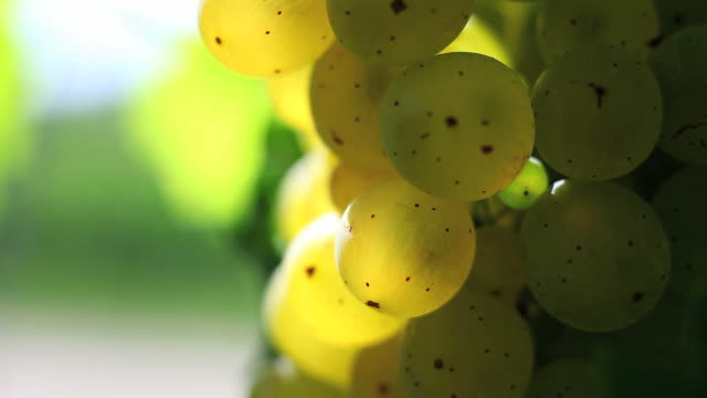 hd white wine grapes (loopable) - herbst stock videos & royalty-free footage