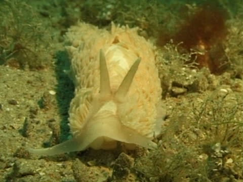 white with white frills, Nudibranch