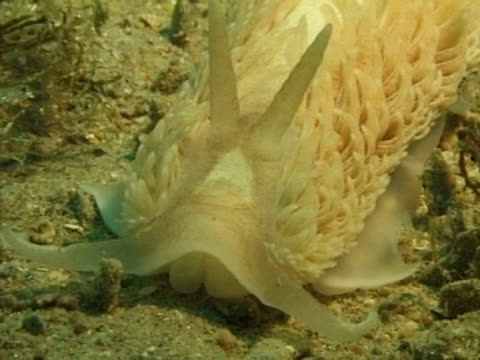 white with white frills, nudibranch - nudibranch stock videos & royalty-free footage