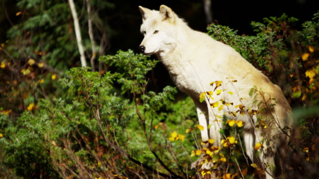 white wolf hunting in outdoor woodland north america - ökotourismus stock-videos und b-roll-filmmaterial