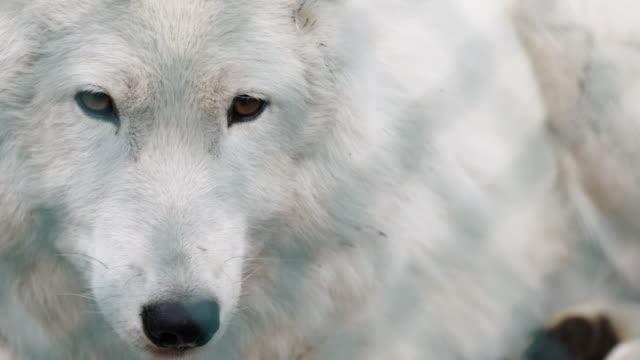 cu of white wolf - fence点の映像素材/bロール