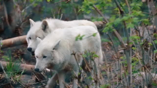 White wolves in animal shelter