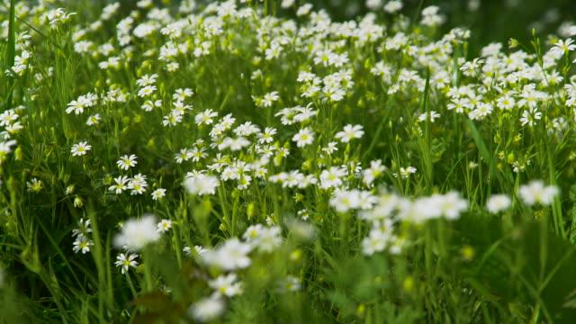 white wood anemone flowers move in breeze - 花粉点の映像素材/bロール