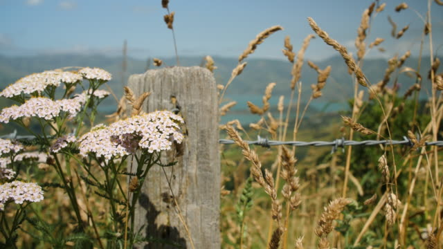 vídeos de stock e filmes b-roll de white yarrow flower and golden grass sways in the breeze on a country fence with barbed wire - poste de madeira