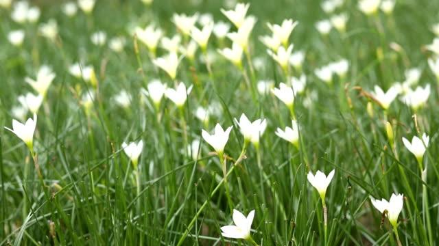 vidéos et rushes de lis blanc zephyranthes - muguet