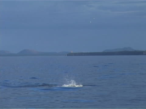 white-beaked dolphin leaping repeatedly - nordatlantik stock-videos und b-roll-filmmaterial