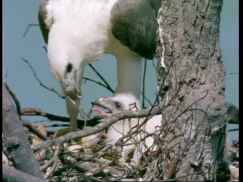 vídeos de stock, filmes e b-roll de mcu white-bellied sea eagle (haliaeetus leucogaster) ripping meat from prey and feeding chick, on nest, malaysia - dependência
