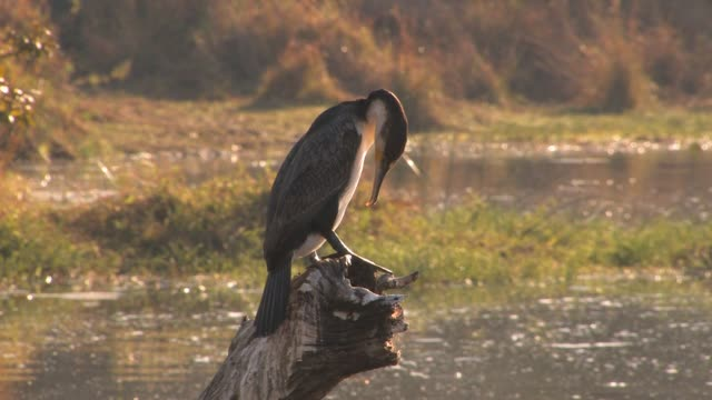 a white-breasted cormorant perches on a stump. available in hd. - cricket stump stock videos & royalty-free footage
