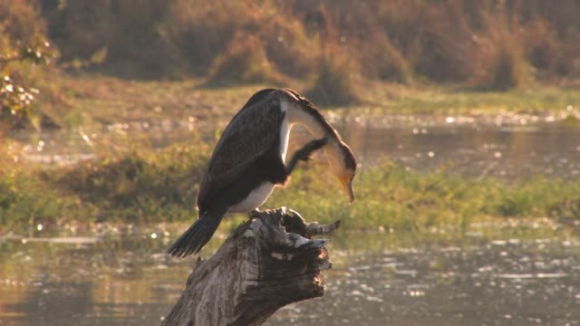 a white-breasted cormorant scratches its neck while perched on a stump. available in hd. - cricket stump stock videos & royalty-free footage