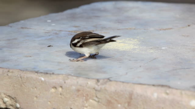 white-browed sparrow-weavers eating bread crumbs off a table, kgalagadi transfrontier park, south africa - sparrow stock videos & royalty-free footage