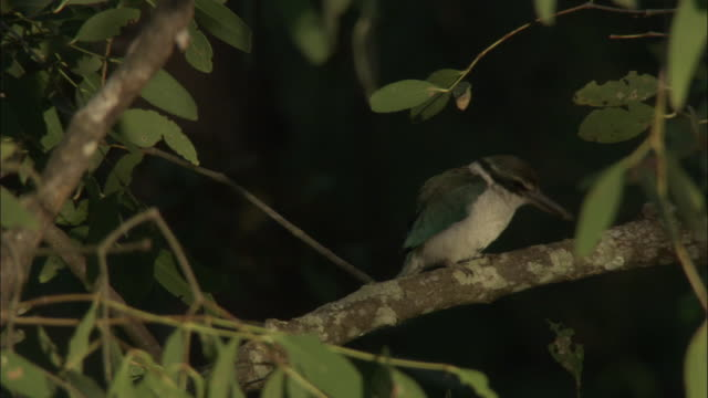 a white-collared kingfisher scrapes its beak on a tree branch. available in hd. - perching stock videos & royalty-free footage