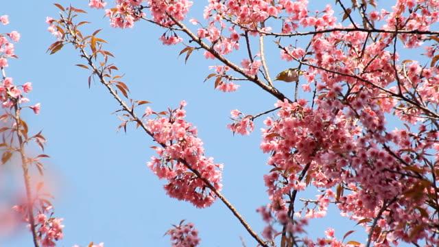 white-eye bird on cherry blossom and sakura - dogwood stock videos & royalty-free footage