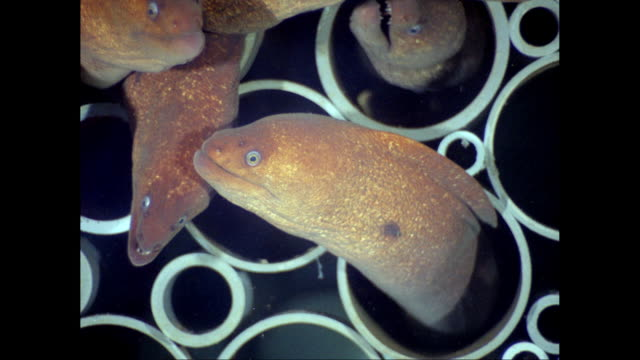 CU White-eyes Moray Eel in pipe / United States