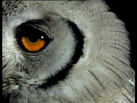 vídeos de stock e filmes b-roll de white-faced owl with big bright orange eyes looks around and to camera at night, africa - olho de animal