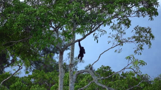white-handed gibbon (hylobates lar) clambering on trees in sumatra island, indonesia - monkey stock videos & royalty-free footage