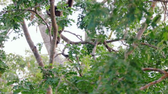 vidéos et rushes de white-handed gibbon (hylobates lar) clambering on trees in sumatra island, indonesia - branche partie d'une plante