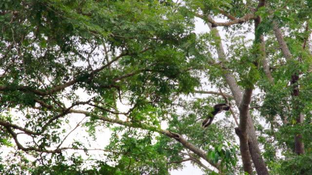 vídeos y material grabado en eventos de stock de white-handed gibbon (hylobates lar) clambering on trees in sumatra island, indonesia - isla de sumatra