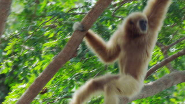 white-handed gibbon (hylobates lar) clambering on trees in sumatra island, indonesia - 一隻動物 個影片檔及 b 捲影像