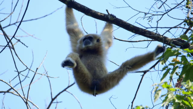 white-handed gibbon (hylobates lar) pooping while hanging from a branch in sumatra island, indonesia - bedrohte tierart stock-videos und b-roll-filmmaterial