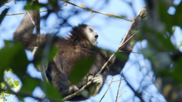 vidéos et rushes de white-handed gibbon (hylobates lar) shouting in sumatra island, indonesia - un seul animal