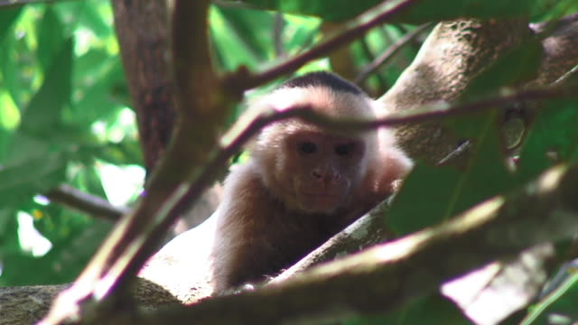 white-headed capuchin monkey relaxing on a tree branch in uvita costa rica - costa rica stock videos and b-roll footage
