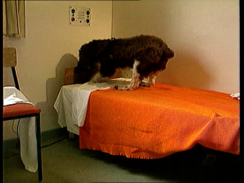 semtex found itn lib ms sniffer dog finding something in prison bed cms side dog retrieving article from end of bed and jumps off tcms guard pats dog - whitemoor prison stock videos and b-roll footage