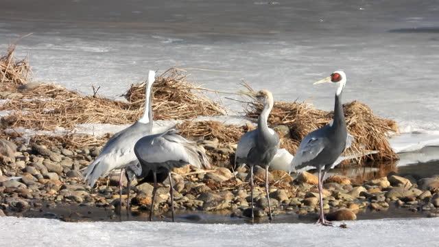 white-naped crane in migrate habitats at hantangang river / cheorwon-gun, gangwon-do, south korea - animal neck stock videos & royalty-free footage