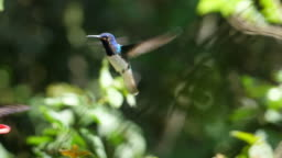 White-necked jacobin birds flying next to the nest slow motion