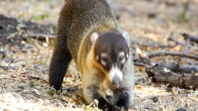 white-nosed coati (nasua narica) at palo verde national park - foraging stock videos & royalty-free footage