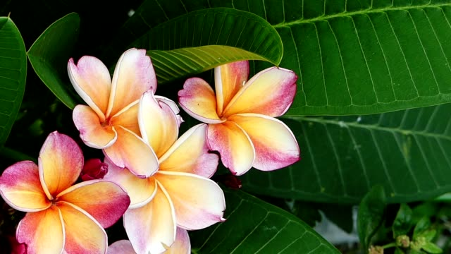Whitepink Plumeria Flower Blowing In The Wind Stock Footage Video