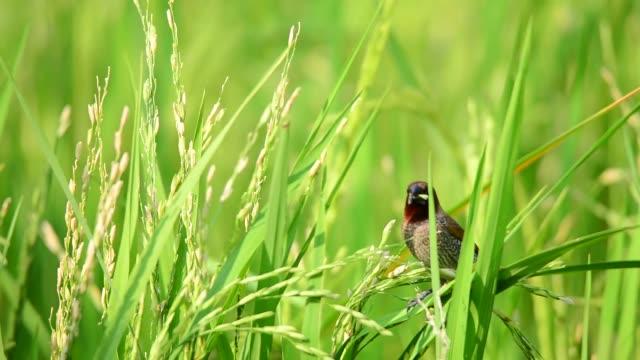 白いぶんぷんグムニア(ロンチュラ・ストリアタ)の田んぼの鳥 - スズメ点の映像素材/bロール