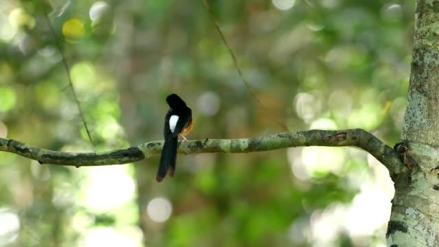 White-rumped shama bird.