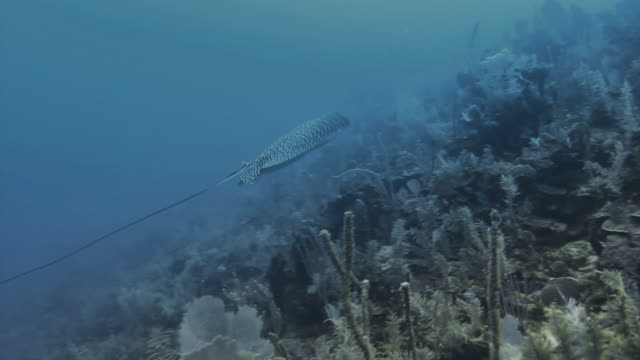 white-spotted eagle ray swimming alongside coral in the caribbean - eagle ray stock videos and b-roll footage