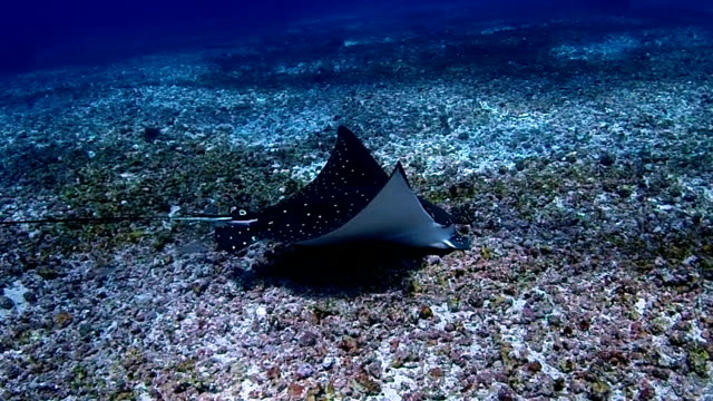 white-spotted eagle ray - eagle ray stock videos and b-roll footage