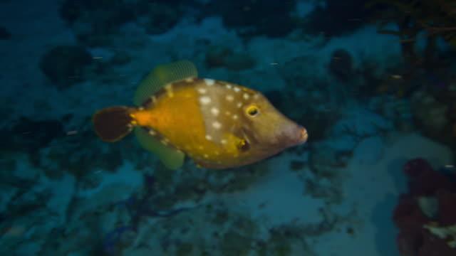 vidéos et rushes de whitespotted filefish - vincent pommeyrol