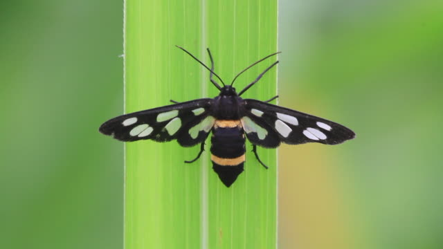 white-spotted moth (amata fortunei) - gliedmaßen körperteile stock-videos und b-roll-filmmaterial