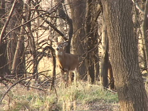 whitetail buck in woods carefully walks towards camera - white tailed deer stock videos & royalty-free footage