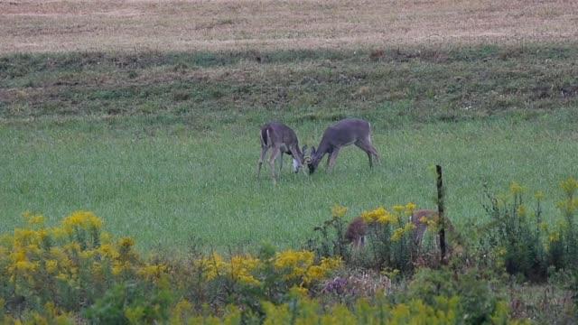 vídeos de stock, filmes e b-roll de whitetail bucks fighting - doe