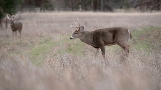 whitetail bucks in field - white tailed deer stock videos & royalty-free footage