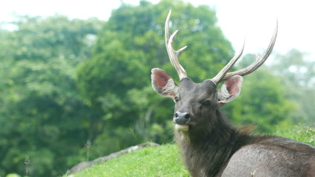 whitetail deer big buck - white tailed deer stock videos & royalty-free footage