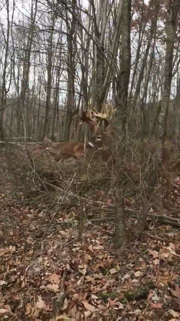 whitetail deer buck with a very rare antler formation protects his mate. this buck is literally a living fortress, as his lethal antlers as menacing... - antler stock videos & royalty-free footage