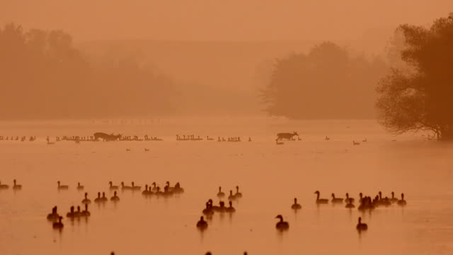 whitetail deer crossing a lake before sunrise - lancaster county pennsylvania stock videos & royalty-free footage