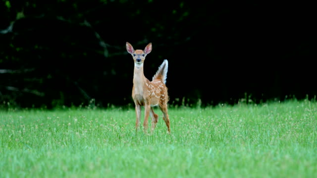 whitetail deer fawns and doe - alertness stock videos & royalty-free footage