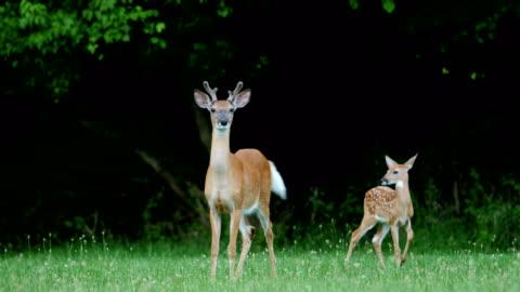 vídeos de stock, filmes e b-roll de filhotes de cervos do whitetail e doe - corça