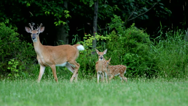 vídeos de stock e filmes b-roll de whitetail deer fawns and doe - veado