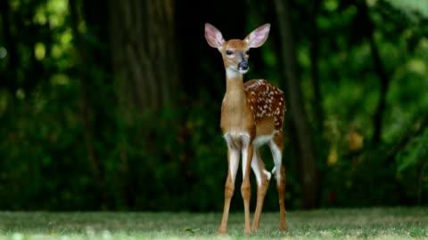 vídeos de stock, filmes e b-roll de filhotes de cervos do whitetail - corça
